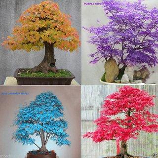 10pcs Mixed Japanese Maple Tree Bonsai Seeds Acer Palmatum Atropurpureum Plant