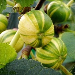 Futaba Dwarf Sementes De Flores Fig Seeds - 100 Pcs