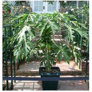 bonsai papaya seeds 10