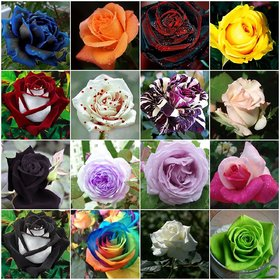 Primrose Gardens rare Imported Mixed Hybrid Rose Seeds 25 seeds pack