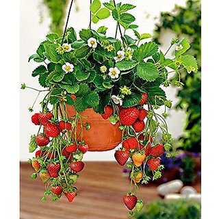 Airex Strawberry Fruit Seeds (Pack Of 25 Seeds Per Packet)