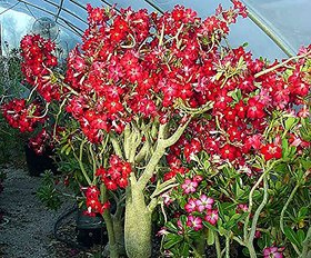 M-Tech Gardens Adenium Obesum (Design #05 ) Genuine Imported 10 Seeds Pack