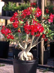 M-Tech Gardens  Adenium Obesum (Design #31 ) Genuine Imported 10 Seeds Pack