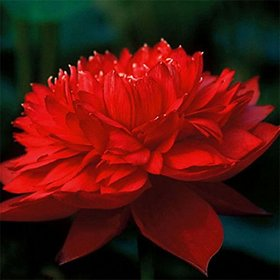 Nelumbo Nucifera Lotus Flowers Real Seed Water Plant, (Dark Red) - Pack of 10 Seeds