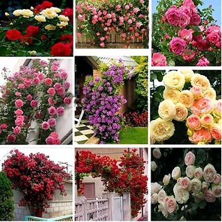 M-Tech Gardens 15 Seeds Mixed Rose Flower Seeds Imported From Uk Seed