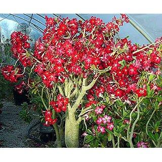 M-Tech Gardens Adenium Obesum (Design #05 ) Genuine Imported 10 Seeds Pack