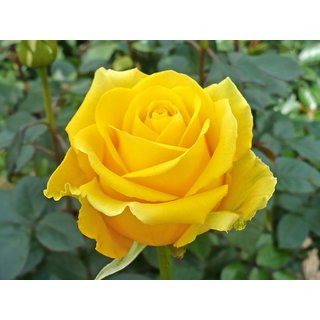 Buy Live Yellow Miniature Rose Flower Miniature Flower Grafted