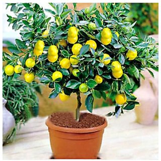 bonsai lemon seeds 10