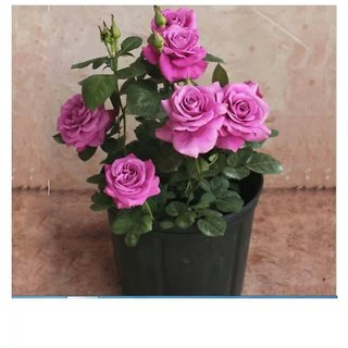 bonsai red rose mapple seeds 10 per packet