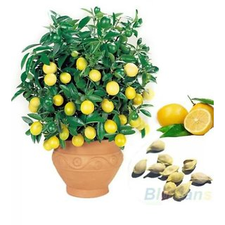 lemon bonsai tree seeds 10
