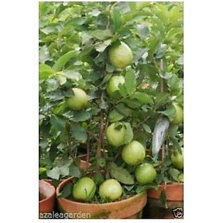 dwarf bonsai guava seeds per packet 10