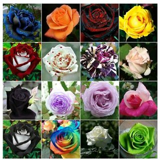 mixed japanese red rose 20 seeds