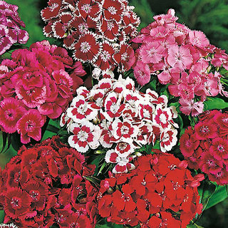 Sweet William Mixed-colour Flower Supe Germination Seeds