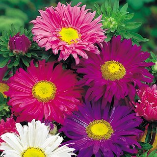 Seeds Aster Flower Mixed Colour 3x Quality Seeds For Home Garden