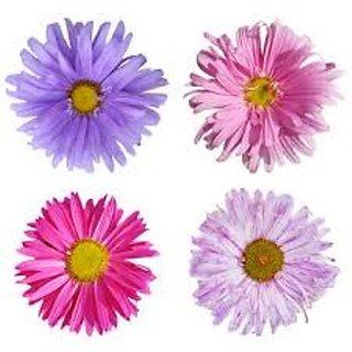 R-DRoz Aster Flower Flowers Seeds