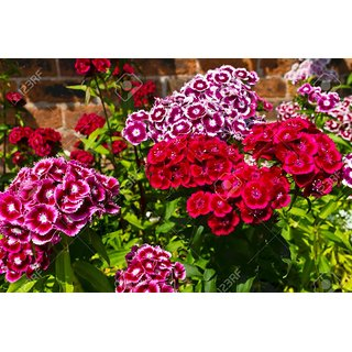 Seeds Sweet William Mixed-colour Flower Hybrid Exotic Seeds  For Home Garden