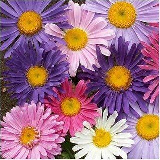 R-DRoz Aster Flower Super Advanced Seeds
