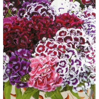 R-DRoz Sweet William Mixed-colour Flower Better Germination Flowers Seeds