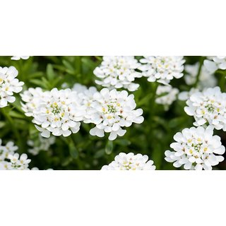 Seeds Candy Tuft White Flower Refined Seeds