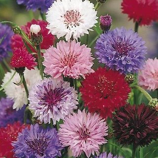 Corn Flower Multi-Colour 3x Quality Seeds For Home Garden