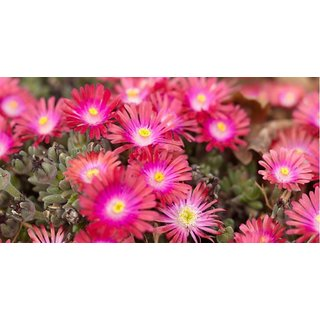 Seeds Ice Plant Mixed Colour Flower Premium Flowers Seeds