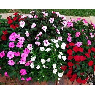 Petunia Flower Mixed Colour Seeds for Home Garden