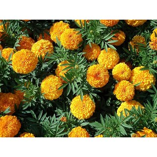 Marigold Dwarf Flower Orange & Yellow Colour All Need Seeds  For Home Garden