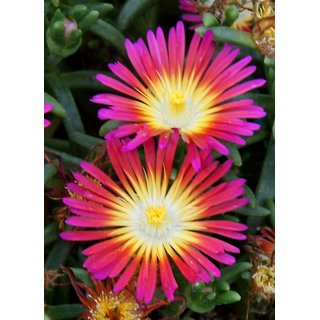 Seeds Ice Plant Flower Fast Germination Seeds For Home Garden
