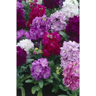 Stock Flkower Mixed Colour Quality Flowers Seeds