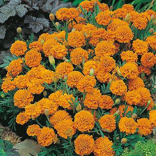 Seeds Marigold Dwarf Flower Orange & Yellow Colour Premium Flowers Seeds