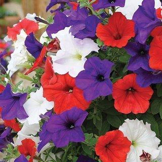 Seeds Petunia Flower Mixed Colour R-DRoz Flowers Seeds