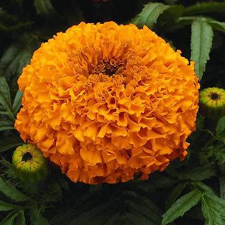 Marigold Flower Orange & Yellow Colour R-DRoz Quality Seeds