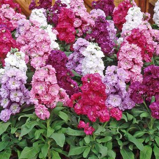 Stock Flkower Mixed Colour Seeds