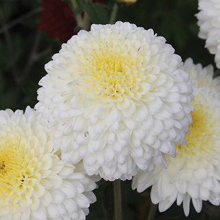 Chrysanthemum Flower Multi-Colour Better Germination Flowers Seeds