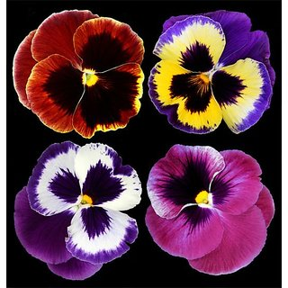 Seeds Pansy Flower 10x Quality Seeds For Home Garden