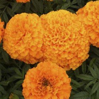 Marigold Dwarf Flower Super Flowers Seeds
