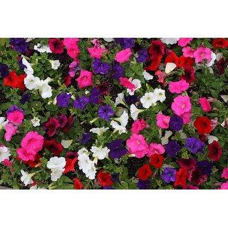 Petunia Flower Multi-Colour Quality Flowers Seeds