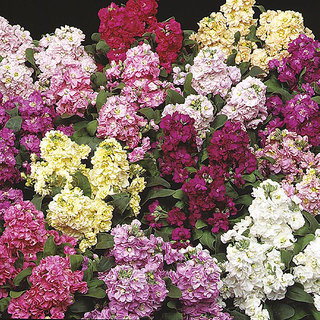 Seeds Stock Flkower Multi-Colour All Need Seeds  For Home Garden