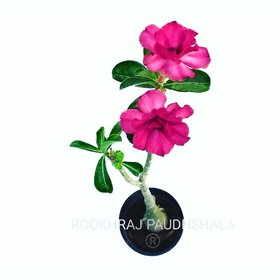 Raj Garden Plants Adenium Grafted Red Colour