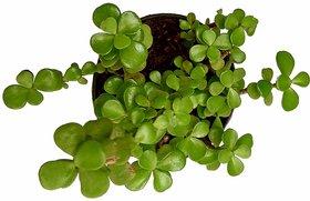 Raj Garden Plants Good Luck Fensui Crasulla ovata Plant