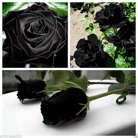 10 Pcs Mysterious Black Rose Flower Plant Seeds Beautiful Black Rose New
