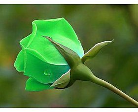 Seeds-Green Rose Seed 5