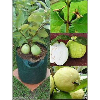 Dwarf Sweet White Guava / Psidium guajava Fast Growing , 40 seeds pack