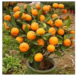 orange bonsai tree seeds 10 per packets