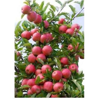 kashmiri apple bonsai tree seeds per  packet -10