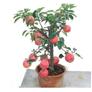 Apple Seed To Bonsai Tree Bonsai Tree