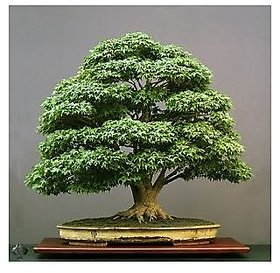 Seeds-Bonsai - Japanese Green Maple Tree, Acer Palmatum Small Seeded
