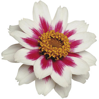 Futaba Tricolor Double Blooms Zinnia Flower Seed - 50 Pcs