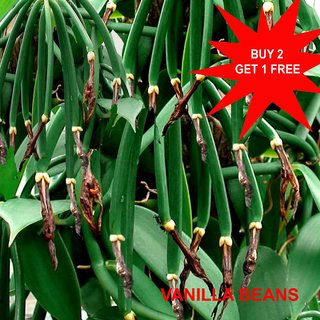 Vanilla Plant/ Planifolia Bean/ Rooted plant/ Ready to grow/10length/ 3 Pieces