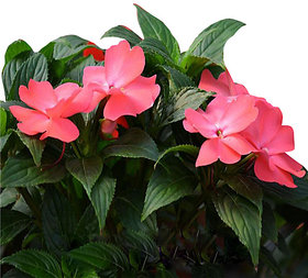 Futaba Impatiens walleriana Flower Seeds - Pink - 100 Pcs